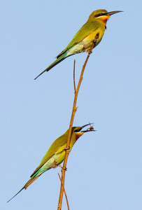Blue tailed Bee-eater